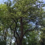 Mature pear tree in The Glade